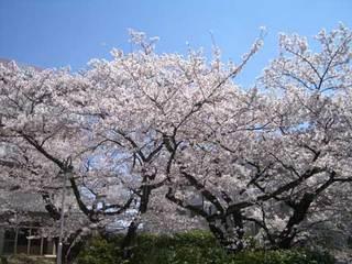 2013_sakura_480.jpg